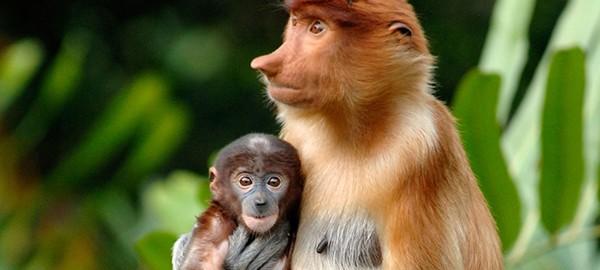 uzun-burunlu-maymun-(1)